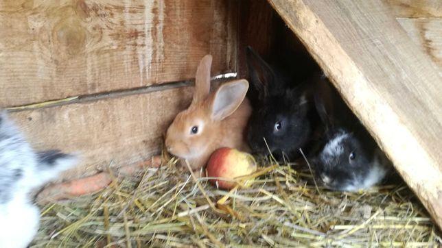 Króle króliki małe duże