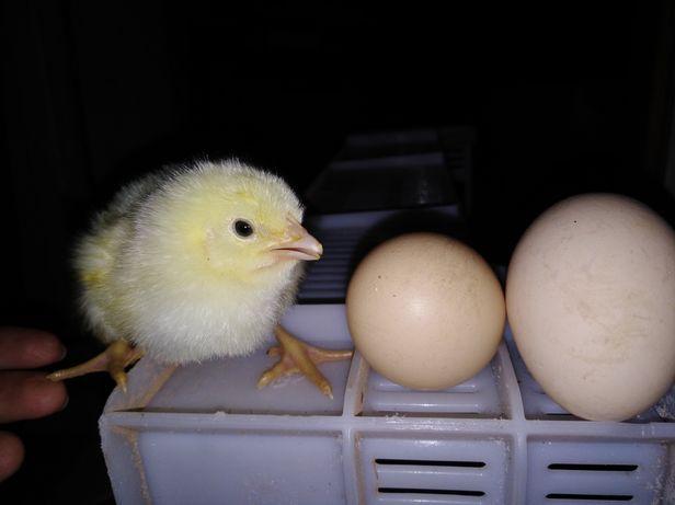 РОСС-708 инкубационное яйцо