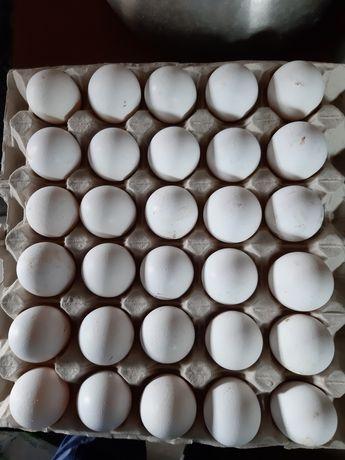 Jajka lęgowe Leghorn,Zielononóżka,Marans,Przepiórki