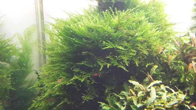 Mech China rośliny akwariowe