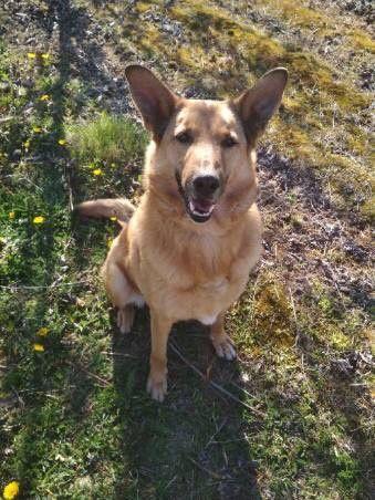 Laki, świetny pies do adopcji