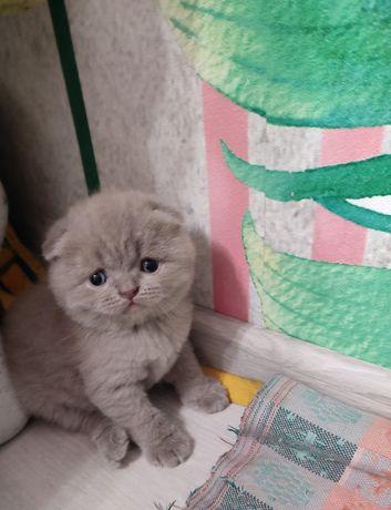 Продам котенка веслоухого