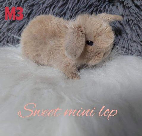 Królik króliki mini lop zarejestrowana hodowla