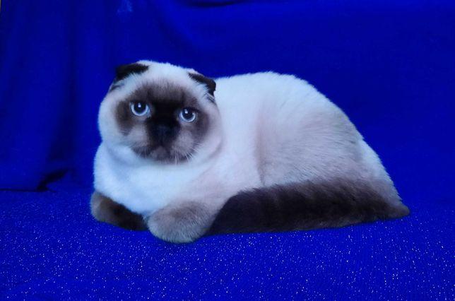 Шотландские вислоухие котята .Scottish fold . Мальчик !!!
