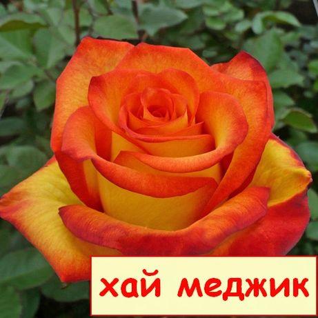 Розы.Саженцы роз.Саженцы плодовых деревьев.