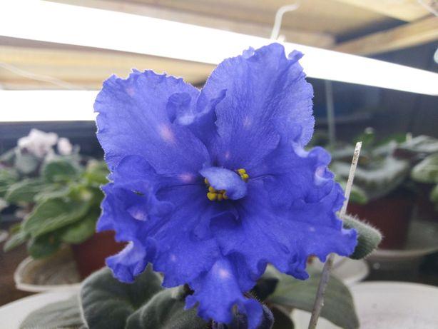 Фиалки цветущие комнатные растения, на подарок