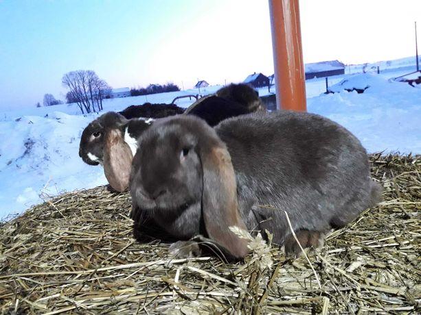 Sprzedam 3 króliki, samice roczne, rasy baran francuski.