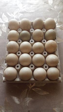 Продам десертные/столовые утиные яйца