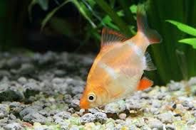 Brzanka sumatrzańska orange
