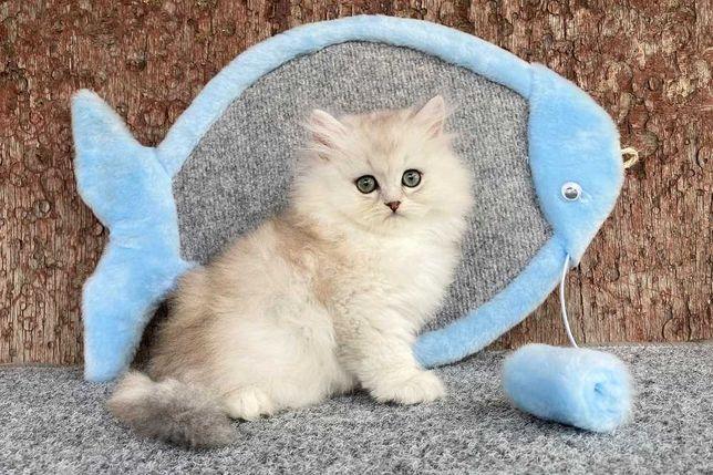 Бpитанcкие котята сеpебpистые и зoлотыe шиншиллы