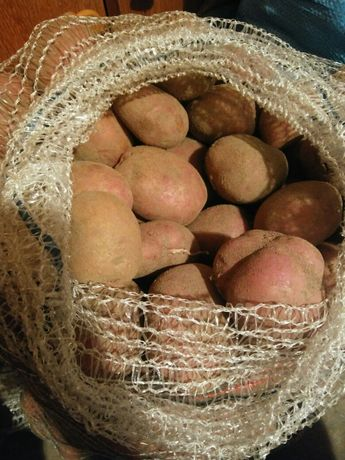 Ziemniaki Sokół, Rudolph