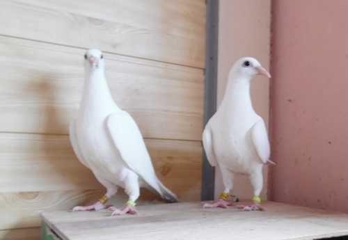 Gołębie Pocztowe! Kapitalne białe lotniki! Idealna budowa!