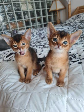 Sprzedam kotki Abisyńskie Dziko umaszczone
