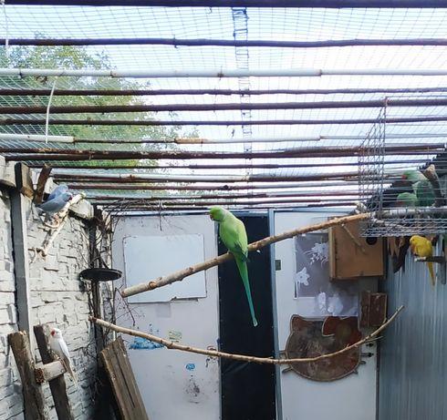 Papuga Aleksandretta obrożna dorosły samiec z obraczką