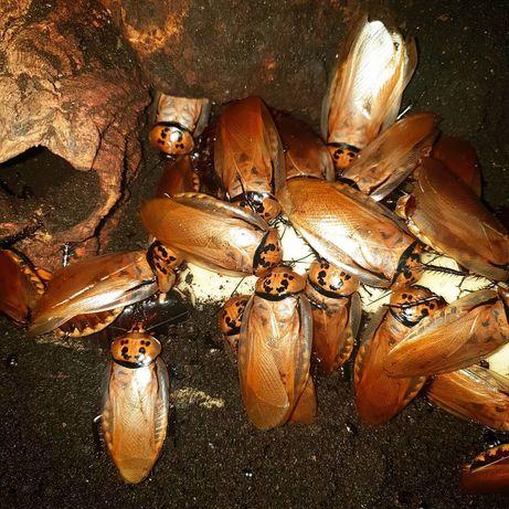 Оранжевоголовый крупный таракан (Eublaberus posticus) живой