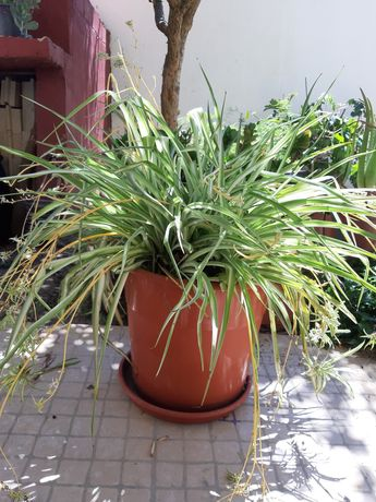 Planta natural purificante