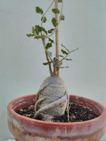 Caudex planta com 12 anos