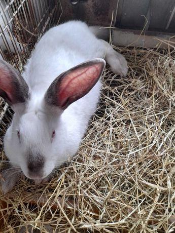 Coelhas prenhas Californianas e Nova Zelândia