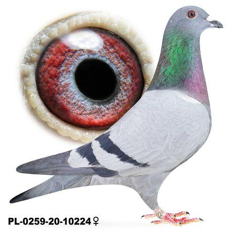 Młode 2021 Para 39 Bula-Latacz Olimpia x Best gołąb gołębie pocztowe