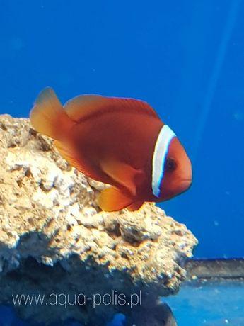 Amphiprion frenatus Błazen pomidorowy akwarystyka morska