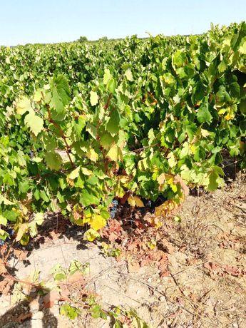 Vendo uva tinta para vinho 0,50€/KG.