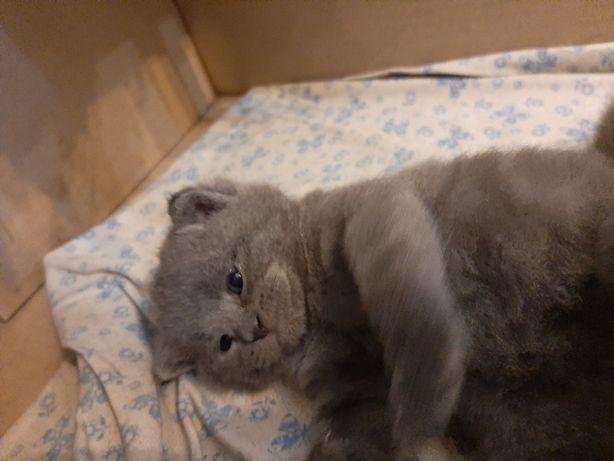 Кошенята породи скотіш-страйт