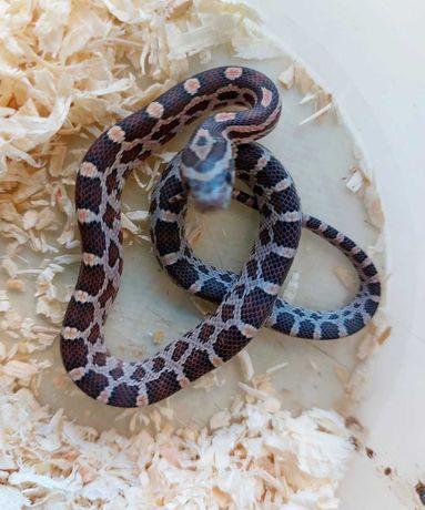 Змея для новичка, для ребенка Полоз маисовый