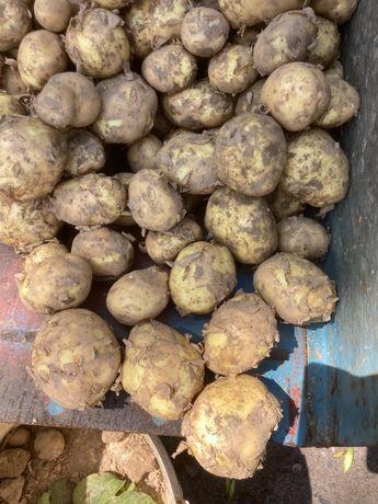 Ziemniaki młode z własnej uprawy