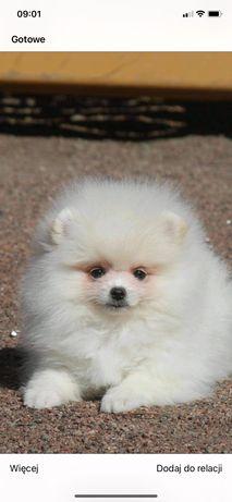 Biały Pomeranian szpic miniaturowy suczka FCI ZkwP