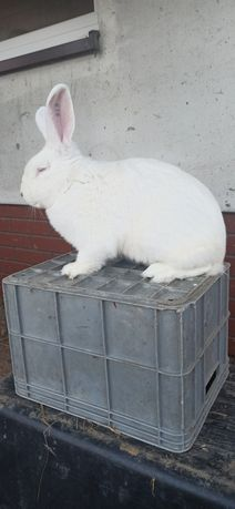 Samiec Termondzki biały