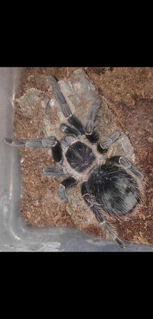 Lasiodora parachybana, 6 DC, pająk, ptasznik