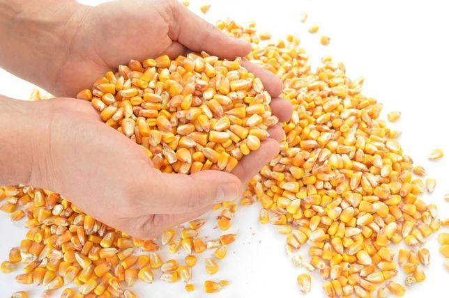 Kukurydza sucha, ziarno zanęta,pasza dla drobiu kur 25kg
