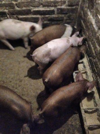 Свиньи поросята  м