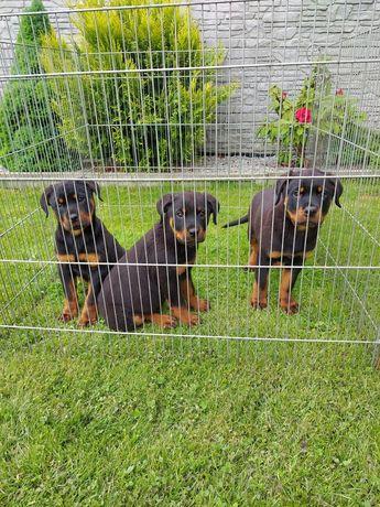 Rottweiler potężne szczeniaki!