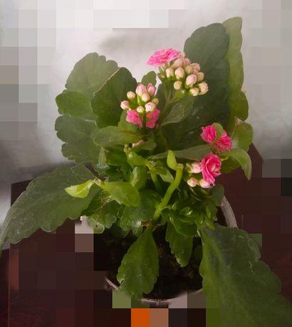цветок каланхое комнатное растение
