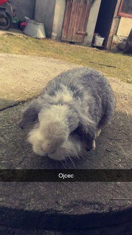 Sprzedam parkę królika miniaturkę baranka