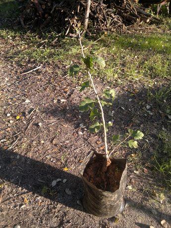 Planta Espinheiro Alvar
