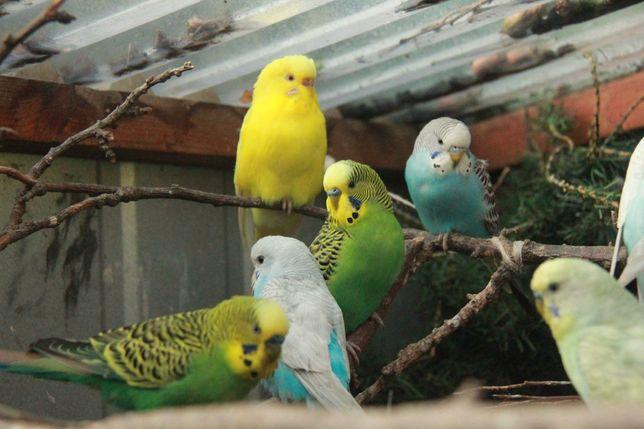 Papugi papużki faliste