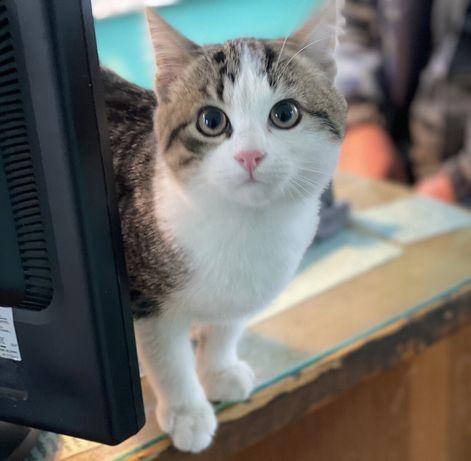 Котенок (мальчик) в добрые руки, с двумя привиками