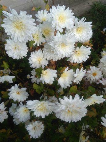 Хризантема белая.
