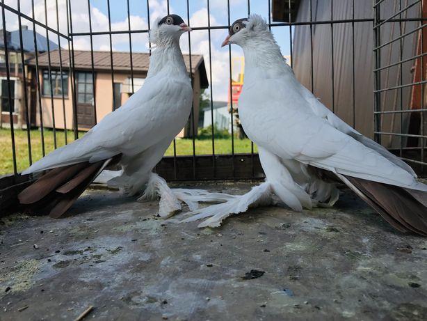 Gołebie Krymki ,Ozdobne , ptaki pawiki