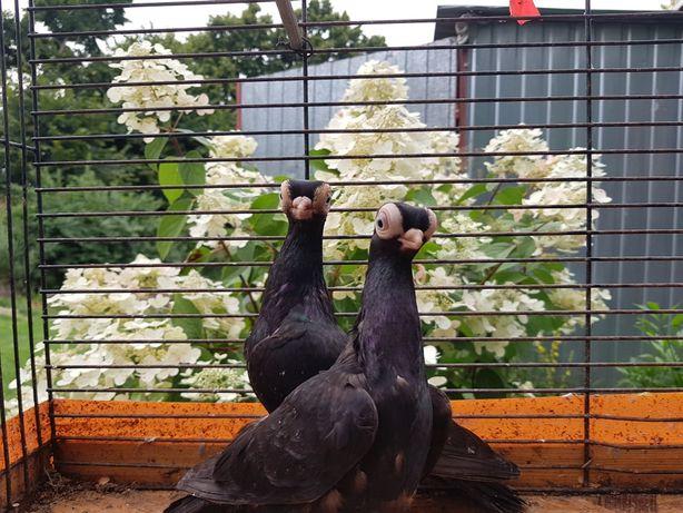 Sprzedam gołębie masciuchy para