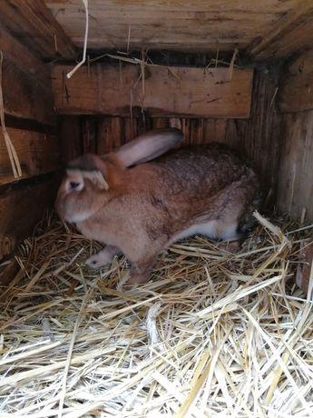 Tuszki z królika mięso