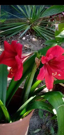 Amarylis - Kwiat doniczkowy