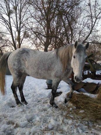 Кобила 6 років! Кінь, Конь, Жеребець.