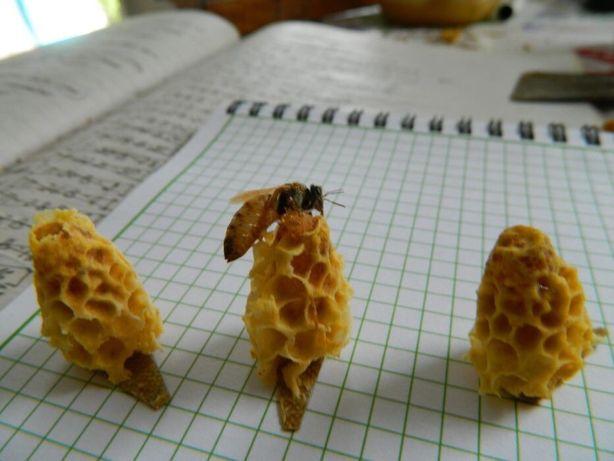 Неплодные пчеломатки Бакфаст (неплідні бджоломатки Бакфаст)