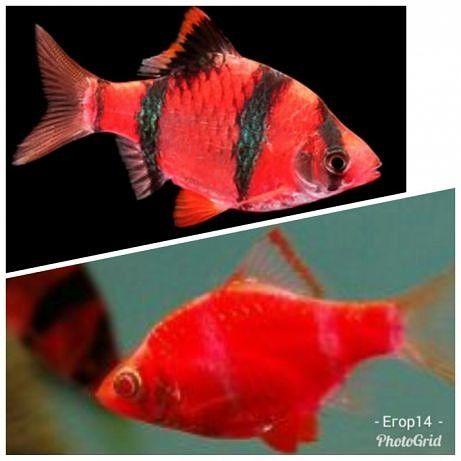Аквариумные рыбки, Барбус GloFish зеленый и красный, светящиеся рыбки