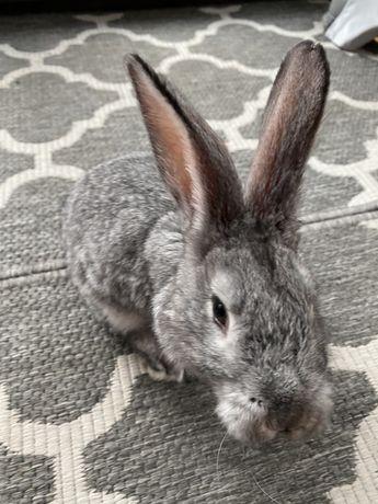 Oddam dwa króliki Szynszyle Wielkie