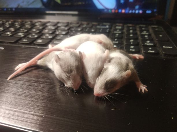 Ручная  декоративная мышка, декоративные мыши,грызуны,миш декоративна