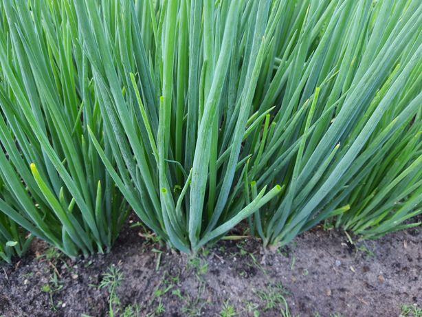 Многолетный лук батун, постоянная зелень с ранней весны до морозов.